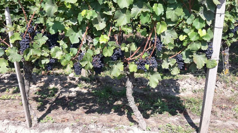 Weinwanderung 2016 - rote Trauben